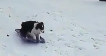sleeënde hond op wintersport