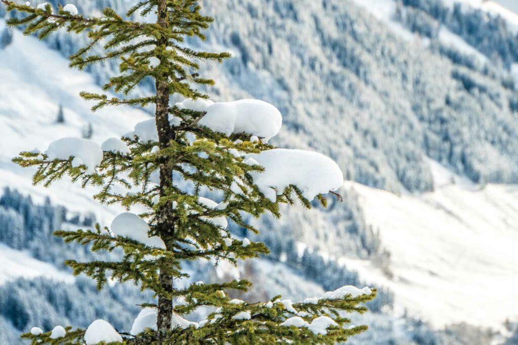 Besneeuwde boom in sneeuwzekere skigebieden Alpen